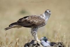 Águila perdicera macho