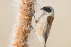Pájaro moscón