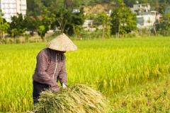 Agricultor vietnamita en arrozal