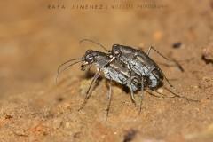 Escarabajo tigre