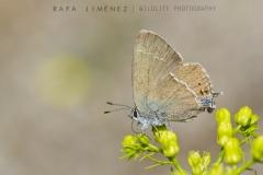 Mariposa sp.