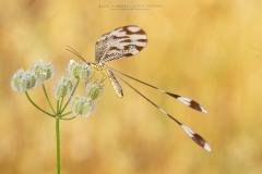 Nemóptera bipennis
